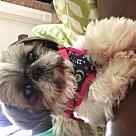 Adopt A Pet :: Sadie-Typical Shih Tzu Princess