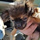 Adopt A Pet :: Puppy #1 - HAS APPLICATION