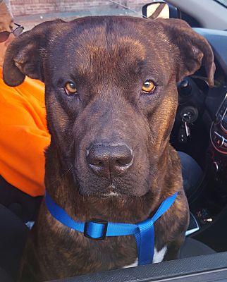 Buffalo, NY - Mastiff  Meet Ralph a Pet for Adoption