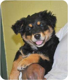 New Boston Nh Bernese Mountain Dog Meet Xena A Pet For