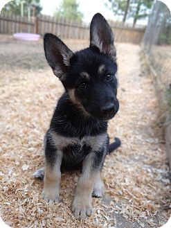 husky german shepherd mix puppies for sale salem or husky meet lucy a dog for adoption 3767