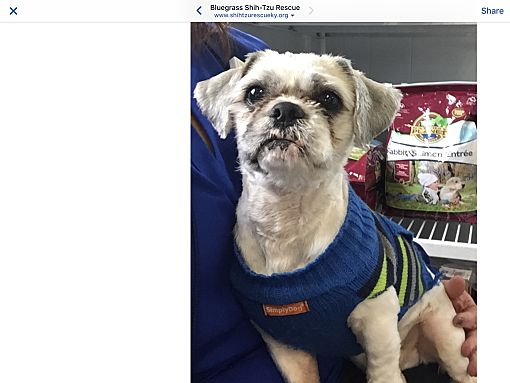 Lexington Ky Shih Tzu Meet Dexter A Pet For Adoption