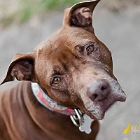 Adopt A Pet :: Lady Tiana - Pittsburgh, PA