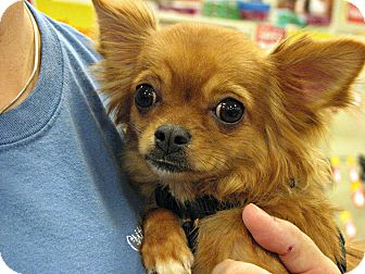 Spartanburg, SC - Chihuahua  Meet Tinkerbella a Pet for Adoption