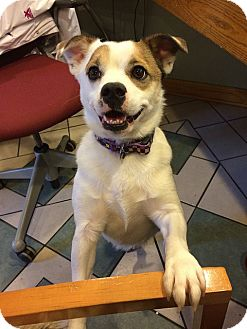 Broadway Nj English Bulldog Meet Dixie A Pet For Adoption