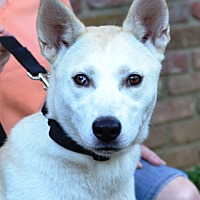 Adopt A Pet :: Lacey - Enfield, CT