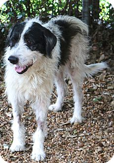 Schnauzer (Giant)/Terrier (Unknown Type, Medium) Mix Dog for adoption in Woonsocket, Rhode Island - Weezel - MEET ME