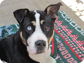 Culver City, CA - American Pit Bull Terrier. Meet Blue a Dog for Adoption.