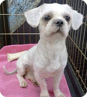 Orlando Fl Shih Tzu Meet Oscar A Pet For Adoption