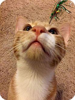 Domestic Shorthair Kitten for adoption in Edmond, Oklahoma - Lucky Luciano