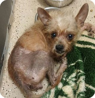 Mary Esther Fl Chinese Crested Meet Tan Mix A Pet For Adoption