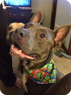 American Staffordshire Terrier Mix Dog for adoption in Kewanee, Illinois - Harley