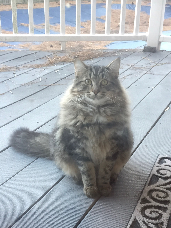 Virginia Beach Va Maine Coon Meet Grumpy A Pet For Adoption