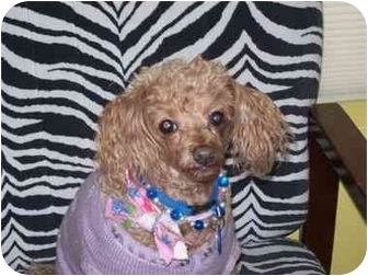 Spokane Wa Poodle Toy Or Tea Cup Meet Kristi A Pet For