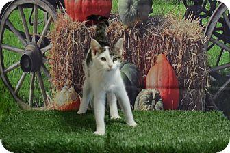 Domestic Shorthair Cat for adoption in Lebanon, Missouri - Wiskers