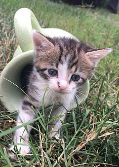 Adopt A Pet :: Brandy  - Dumfries, VA