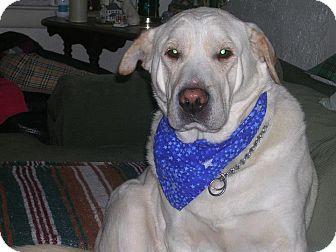 Labrador Retriever/Shar Pei Mix Dog for adoption in Laingsburg, Michigan - Snoopy