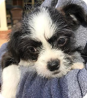 Danbury Ct Shih Tzu Meet Moses A Pet For Adoption
