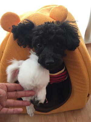 Springfield Va Poodle Toy Or Tea Cup Meet Reo A Pet