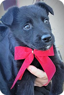 Labrador Retriever/Collie Mix Puppy for adoption in Saratoga Springs, New York - Fletcher ~ ADOPTED!