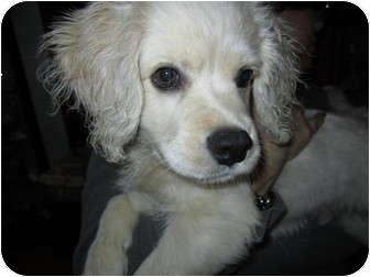 Rahway Nj Golden Retriever Meet Joey A Pet For Adoption