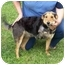 Photo 1 - Sheltie, Shetland Sheepdog Mix Dog for adoption in Foster, Rhode Island - Hope (REDUCED FEE)