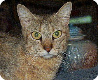 Abyssinian Cat Rescue Ny
