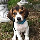 Adopt A Pet :: Beagle