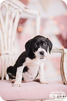 Pit Bull Terrier/Pointer Mix Puppy for adoption in Portland, Oregon - Janet