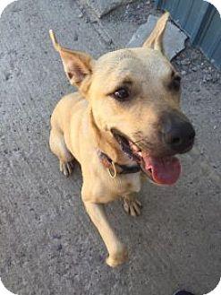 Boxer Mix Dog for adoption in Elliot Lake, Ontario - Asia