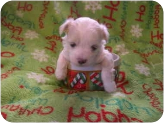 Wauseon Oh Chinese Crested Meet Small Teacup Puppies A Pet For