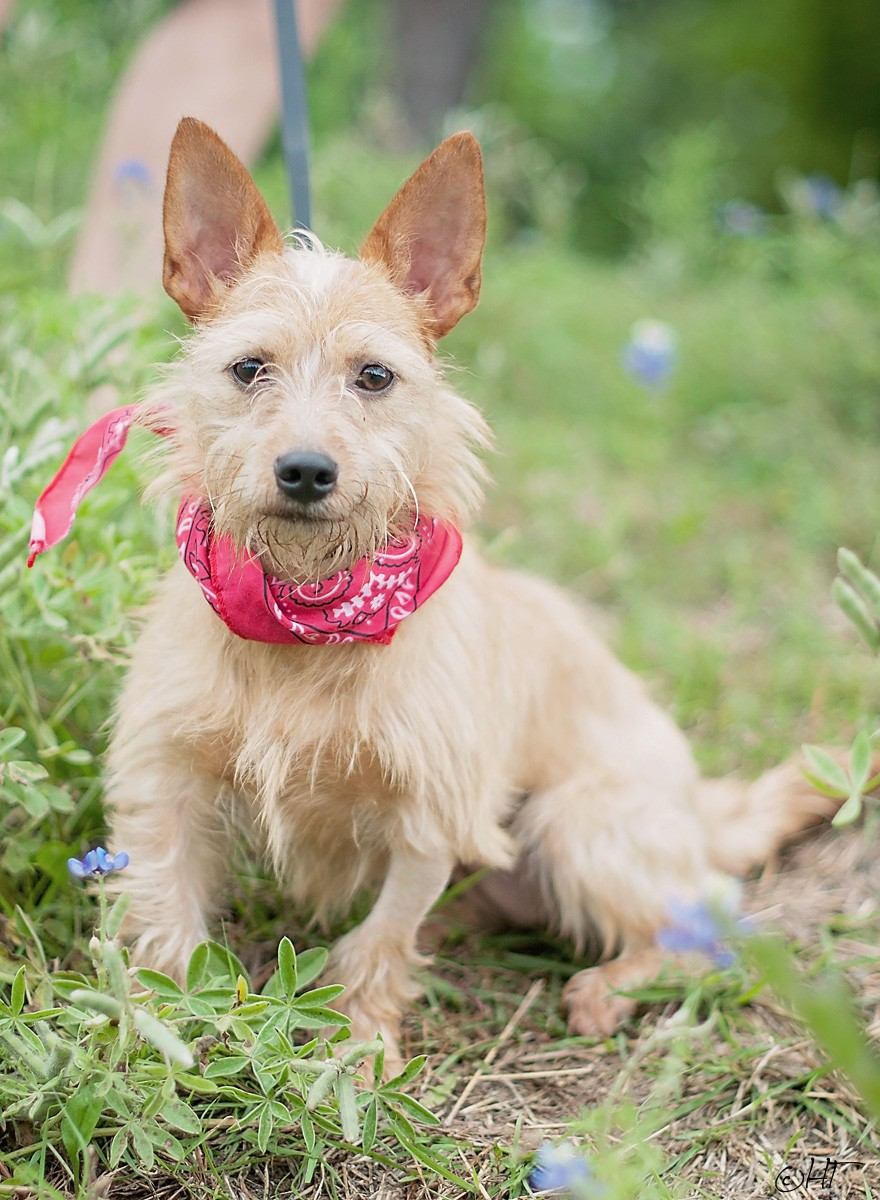 Houston, TX - Cairn Terrier. Meet Misty a Dog for Adoption. | Cairn Terrier Puppies Houston Texas