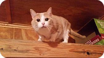 Domestic Shorthair Cat for adoption in Monterey, Virginia - Luke