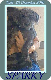Terrier (Unknown Type, Small) Mix Dog for adoption in White River Junction, Vermont - SPARKY