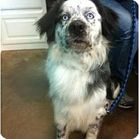 Adopt A Pet :: Blue - Arlington, TX