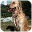 Photo 1 - Golden Retriever Dog for adoption in Houston, Texas - Leo