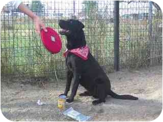 Bozeman, MT - Labrador Retriever  Meet Jake a Pet for Adoption