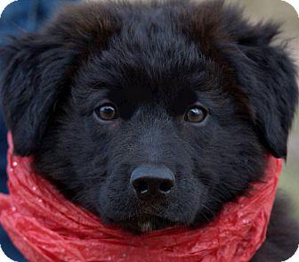 Wakefield Ri Labrador Retriever Meet Sheba Wow Beautiful Puppy