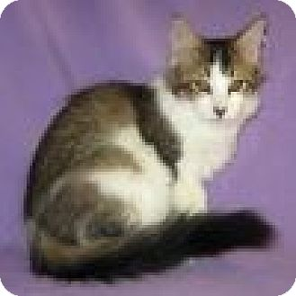 Domestic Shorthair Cat for adoption in Powell, Ohio - Dooley