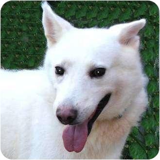 Terre Haute In German Shepherd Dog Meet Snowball A Pet For Adoption