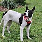 Adopt A Pet :: PUPPY BIGZ-FOSTER NEEDED!