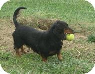 Dachshund Dog for adoption in Prole, Iowa - Cooper