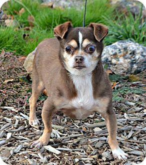 Chihuahua/Pug Mix Dog for adoption in Yreka, California - Chandelle