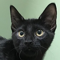 Adopt A Pet :: Shasta - Auburn, CA