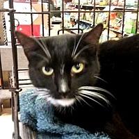 Adopt A Pet :: Midnight - Putnam, CT