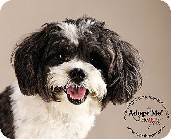 Omaha Ne Shih Tzu Meet Maddie A Pet For Adoption
