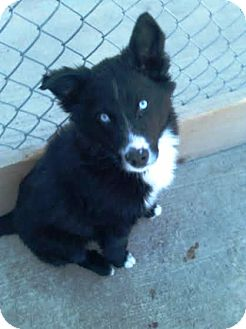 Kirkland Wa Border Collie Meet Hendricks A Pet For Adoption