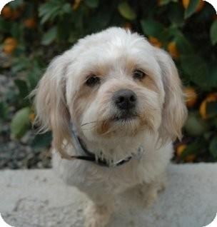 Adopt Shih Tzu Poodle Mix - Goldenacresdogs com