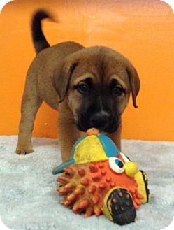 Labrador Retriever Mix Puppy for adoption in Boca Raton, Florida - Anna