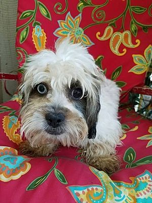 Inland Empire Ca Shih Tzu Meet Brownie A Pet For Adoption